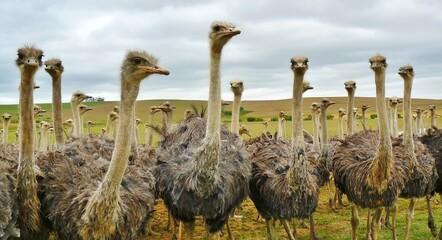 Papiers peints Autruche ostrich