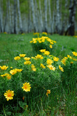 Wild spring bright yellow flower Adonis vernalis in the glades of the birch forest