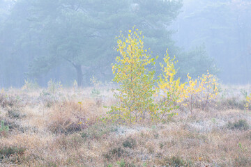 yellow young birch trees on frosty white meadow
