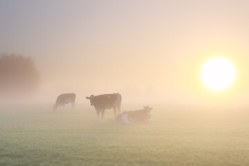 cows in dense fog on pasture at sunrise