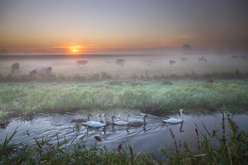 swan family in river by field with cows at dawn