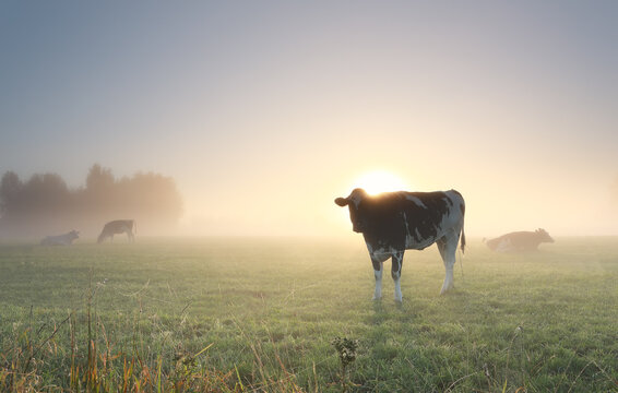 cows grazing on misty pasture at dawn