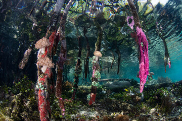 Wall Mural - Colorful invertebrates grow on mangrove prop roots in Raja Ampat, Indonesia.This remote, tropical region within the Coral Triangle is known for its spectacular collection of marine life.