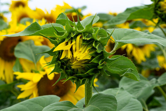 Opening sunflowers in a field with leaves