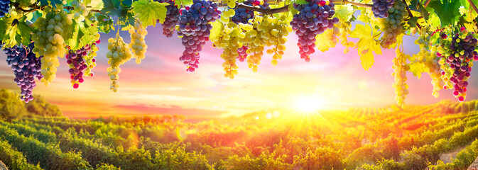 Photo sur Plexiglas Orange Bunches Of Grapes Hanging Vine Plants With Defocused Vineyard At Sunset