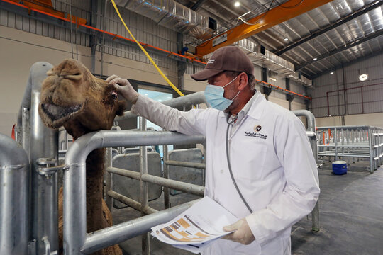 Saudi Arabia launches world's largest camel hospital