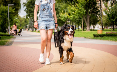 Owner walking with the Berner Sennenhund dog at the park.
