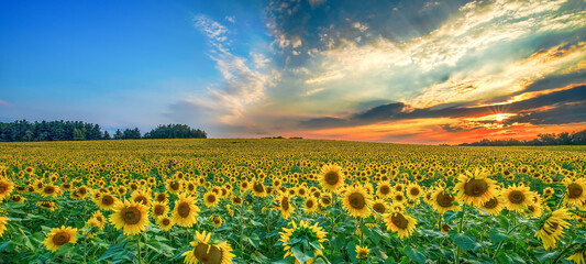 field of sunflowers in the evening