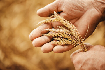 Close-up macro golden barley ears in hands of farmer in field