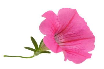 Pink petunia flower head