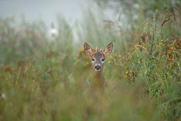 European roe deer moving on the meadow. Roe deer during rutting time. European nature in summer.