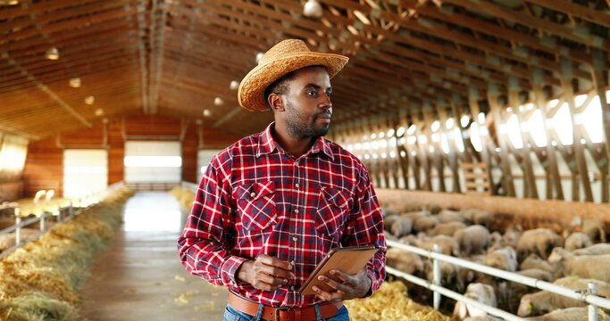 Young African American handsome man shepherd in hat standing in stable, using tablet device and looking at sheep flock indoor. Male farmer tapping and scrolling on gadget computer in shed with animals