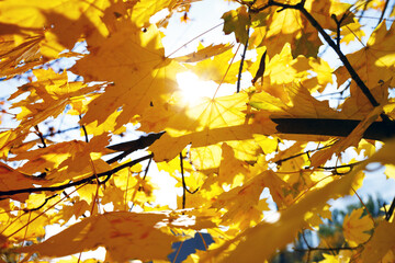 background of yellow maple leaves