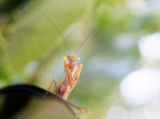 Praying mantis in nature on green background