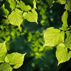 Summer nature background. Lime tree leaves under sunrays in a summer day.