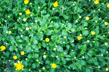 Yellow-green floral background. Top view of small yellow chrysanthemums. Yellow flower buds. Autumn flowers.