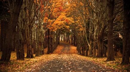 Chutes de feuilles en automne, arbres, forêt, végétation, bois, feuilles, jaune , sentier