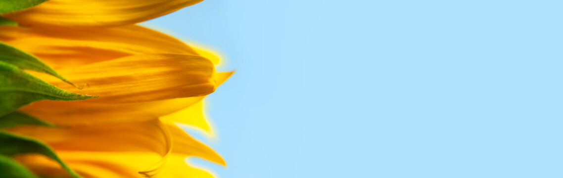 Beautiful fresh yellow sunflower macro shooting. Sunflower blooming Close-up. Sunflower on blue sky background. Flower card wallpaper. Harvest time, agriculture, farming. Yellow flower petals seeds