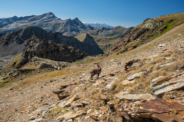Two ibexes grazing in an alpine landscape.
