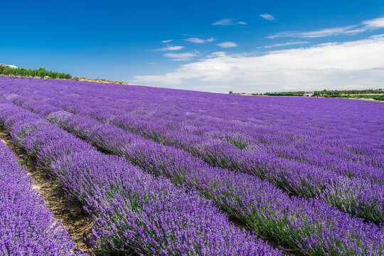 Lavender field with magenta landscape against blue sky with clouds