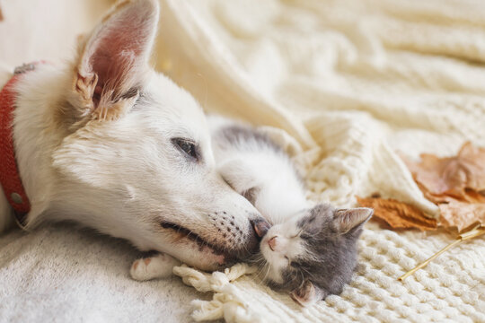 Cute white dog cleaning little sleepy kitten on soft bed in autumn leaves. Adoption concept. Dog grooming kitty on cozy blanket, furry friends.