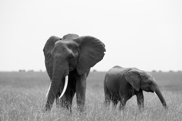 Wall Mural - African elephants grazing in Savannah grassland, Masai Mara