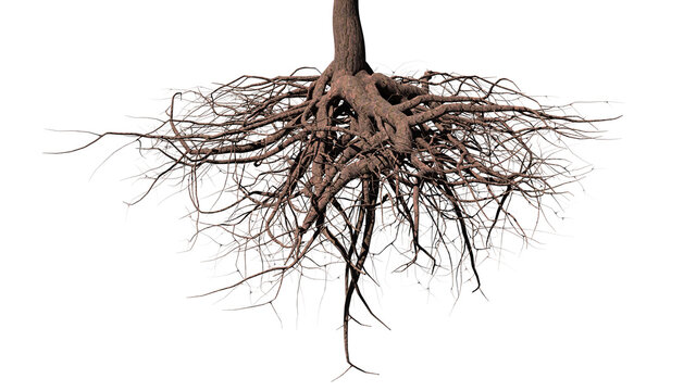 tree roots on white background