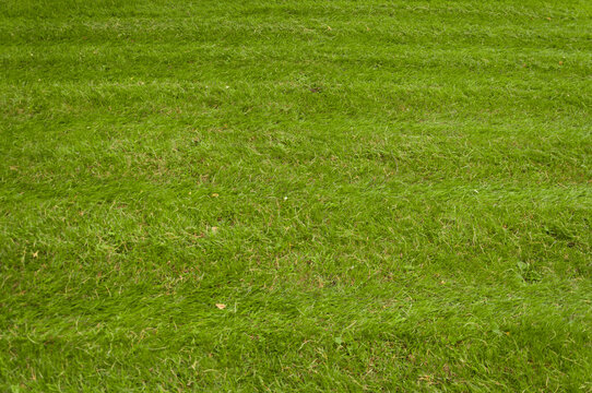 The surface of the lawn, the texture of mown grass. Mown grass on the lawn near the house