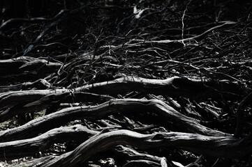 high contrast light of dead manzanita tree woods