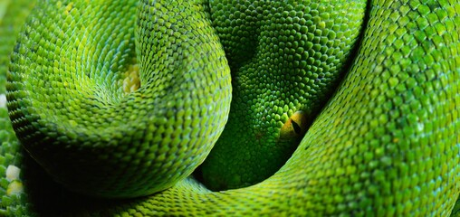 A body of the green tree python Morelia viridis close-up. Portrait art. Snake skin, natural texture, abstract, graphic resources. Environmental conservation, wildlife, zoology, herpetology