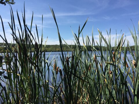 View through cat tails in Governor John Notte Memorial Park