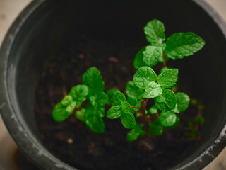 Mint leaves plant growing herb Home garden