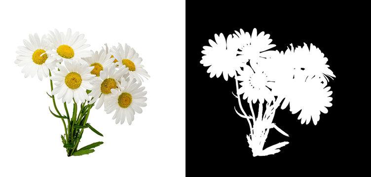 bouquet daisies white background