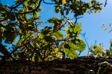 Background of a holm oak tree with brown branches and green leaves with sunlight shining through the leaves on a sunny day with blue sky in Spain