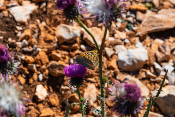Detail of a butterfly pollinating a thistle plant with lilac flowers on a hot summer day in Catalonia, Spain