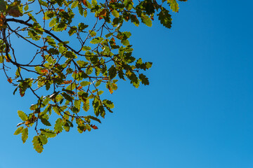 Background with a lot of brown branches and green leaves of an oak tree on a sunny day with a colorful blue sky in the background in Spain