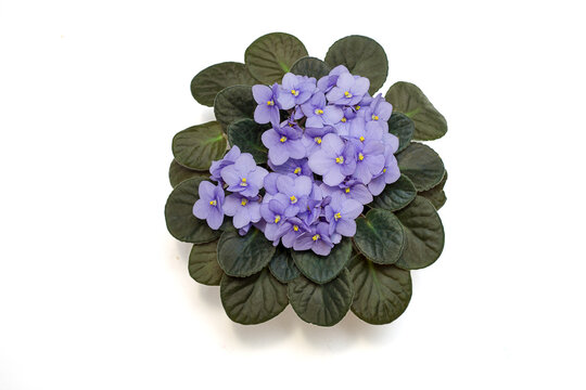 The blooming of the delicate viola, the violet color of the lilac in the pot. Flat lay. Isolated on a white background. Close-up photo. Copy space
