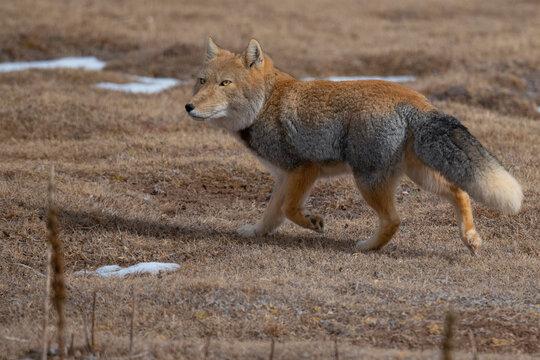 Tibetan fox walking on grassy landscape