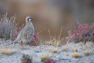 Rusty-necklaced Chukar partridge, Alectoris magna, Dulan nature reserve, Tibetan Plateau, Qinghai, China