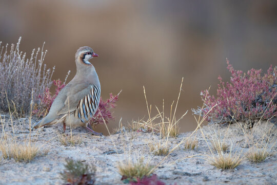 Close up of rusty necklaced partridge perching on rock