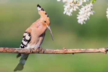 hoopoe sings a song among white flowers