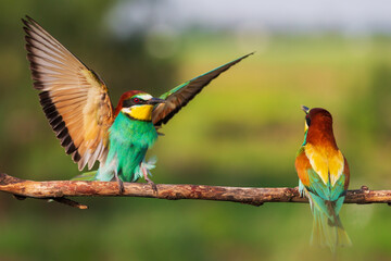 pair of bee-eaters on a branch beautiful birds