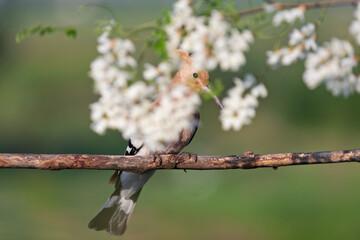 wild bird hiding among white flowers