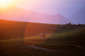 Aluminium Prints Light pink Rural landscape with cow at sunset in Transylvania.