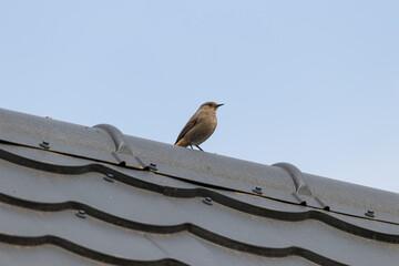 Fototapeta Kopciuszek zwyczajny Phoenicurus ochruros opala się na dachu, ptak siedzi na dużej wysokości obraz