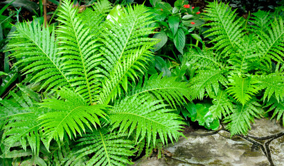 Beautiful Green fern Leaves. Gardening, landscaping design concept.