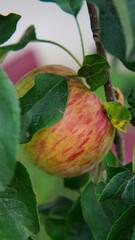 Jabłko na gałęzi w sadzie