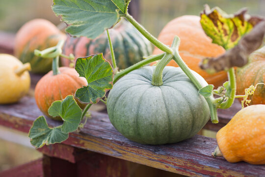 green and orange pumpkins in garden or on fair. autumn harvest time. natural fall background.