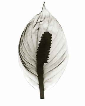 X-ray image of spathyllum flower