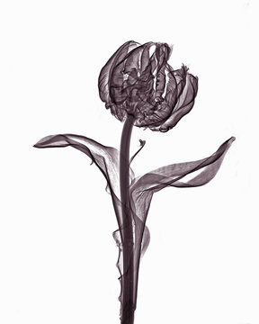 X-ray image of parrot tulip flower